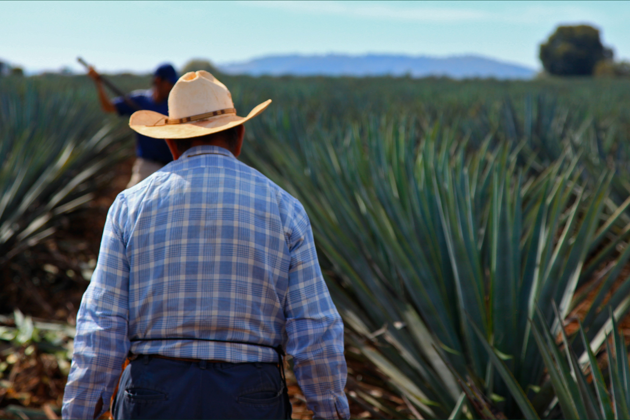 A jimador of the Sauza tequila distillery walking through a field of blue agave.
